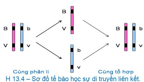 Luyện thi đại học KIT-1: Môn Sinh học (Thầy Bùi Phúc Trạch) :  Bài 4. Liên kết gen